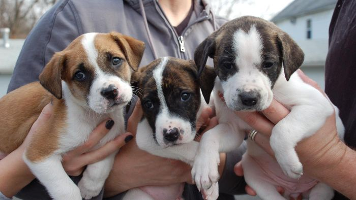 How Can You Adopt Dogs Through the Pit Bulls and Parolees Program?