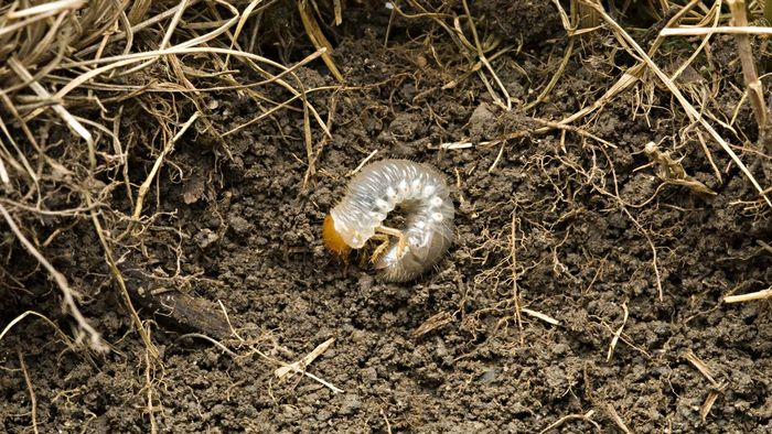 How Can I Kill Grubs in My Lawn?