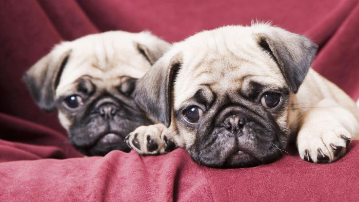 Where Can You Buy Pug Puppies?