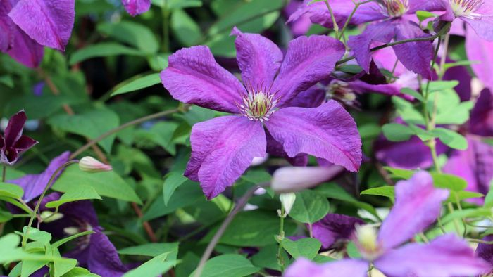 How Do You Care for a Clematis?