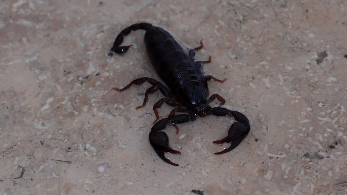 Are There Home Treatments for a Scorpion Sting?