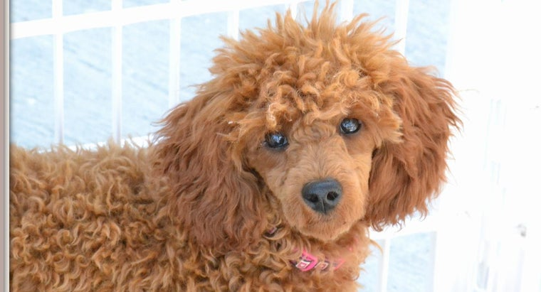 What Is Carolina Poodle Rescue in Pacolet, South Carolina?