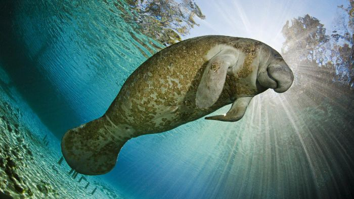 What Are Some Facts About Manatees That Are Easy for Children to Understand?