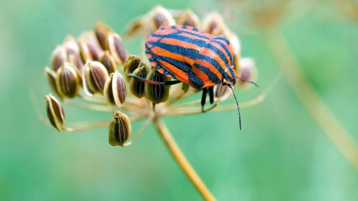 How Do You Kill Chinch Bugs?