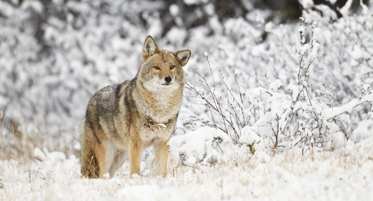 What Are Some Fun Facts About Coyotes for Kids?