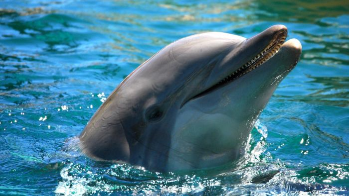 How Many Species of Dolphin Are There?