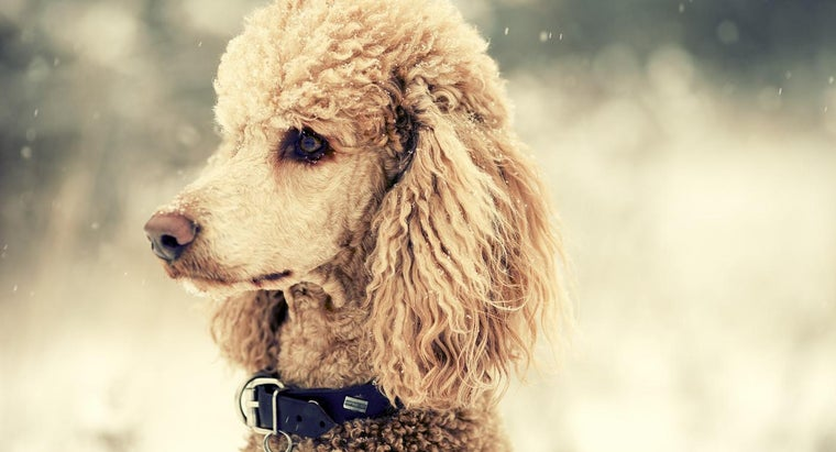 Where Can I Find Poodles for Rehoming?
