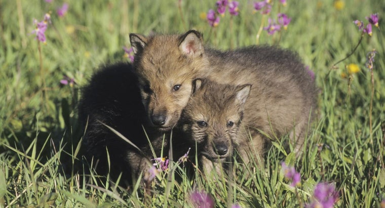 Is It Legal to Adopt Wolf Puppies?
