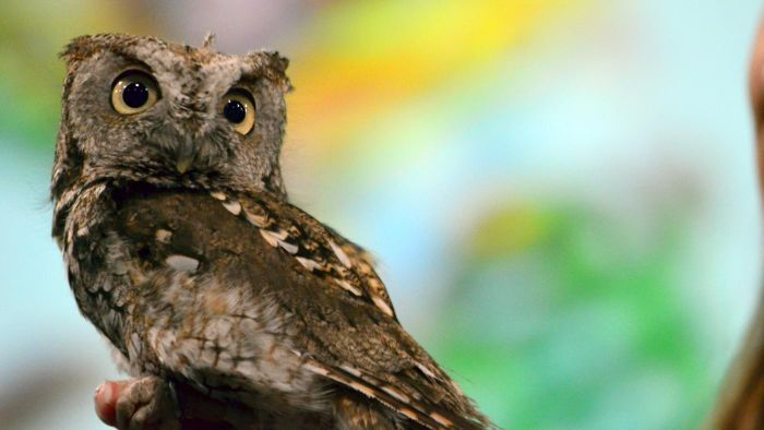 Where Can You Find Audio of Screech-Owl Sounds?