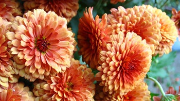 When Do You Plant Mums?