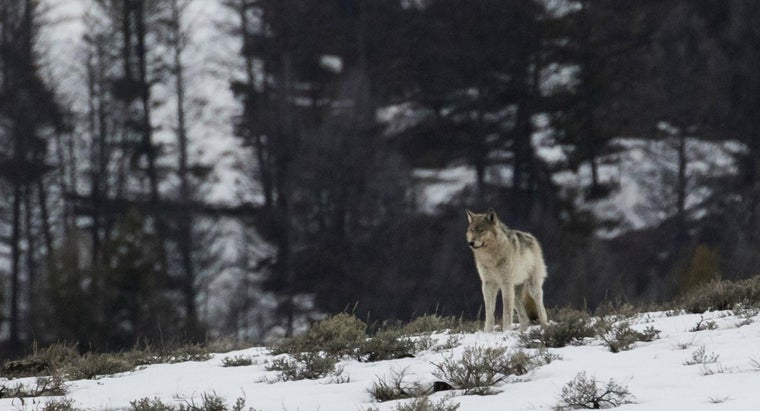Are There Wolves in Colorado?