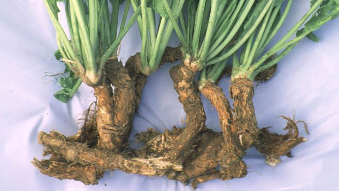 When Should You Pick Horseradish?