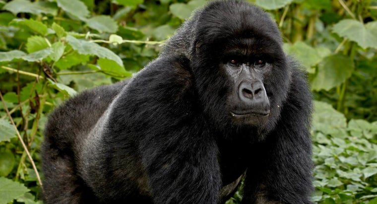 What Are Some Mountain Gorilla Facts?