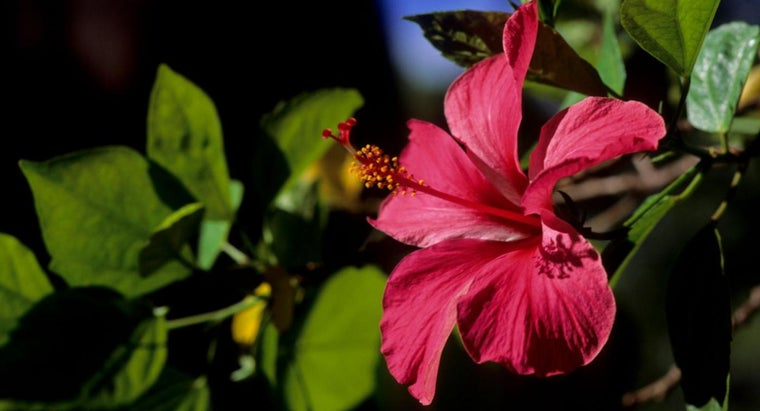 How Do You Treat Hibiscus Plants for Pests?