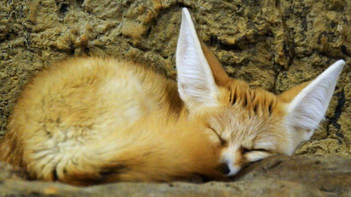 What Are Some Facts to Teach Kids About Fennec Foxes?