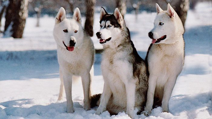 What Are Traits of the Siberian Husky Dog Breed?