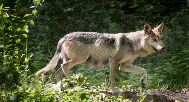 What Is Some Information About the Mexican Gray Wolf?