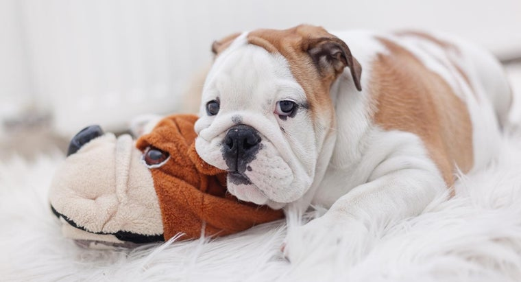 What Are Some Tips for Taking Care of English Bulldog Puppies?