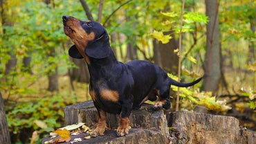What Should You Consider When Getting a Dachshund?