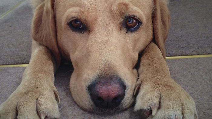 What Treatments Are Available for Canine Cushing's Disease?