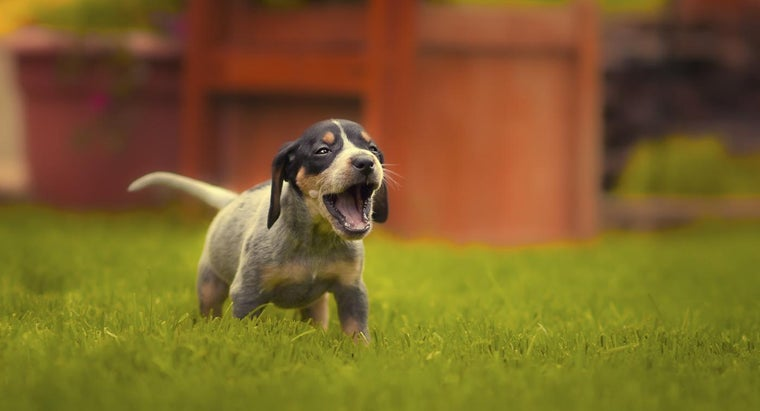What Are Some Ways to Find Free Bluetick Hound Puppies?