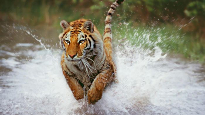 Y Tigers Are Endangered Why Are Tigers Endange...
