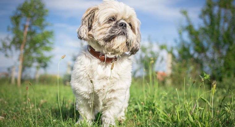 What Are Some Good Names for a Shih Tzu?