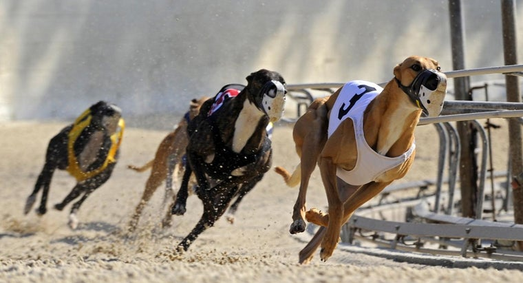 How Do You Place Bets at a Greyhound Dog Track?