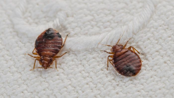 What Are Some Symptoms of Bed Bugs?