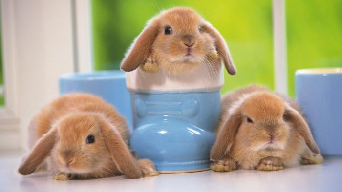 Where Can You Buy Baby Mini Lop Bunnies?