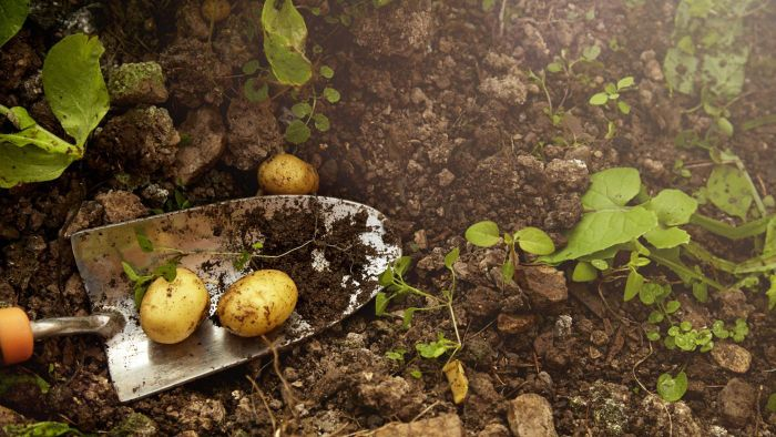 What Are Some Tips for Planting Potatoes in Texas?
