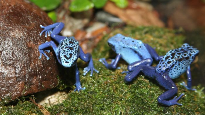 What Are Some Facts About Poison Dart Frogs?