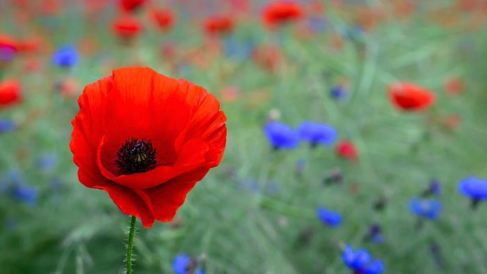 Where Are Poppies Sold?