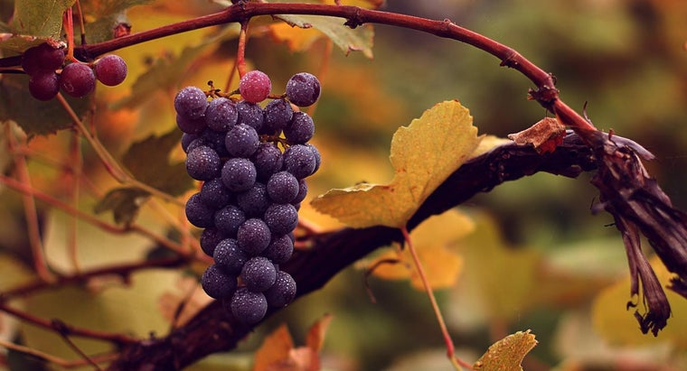 When Should You Prune Grape Vines in Pennsylvania?