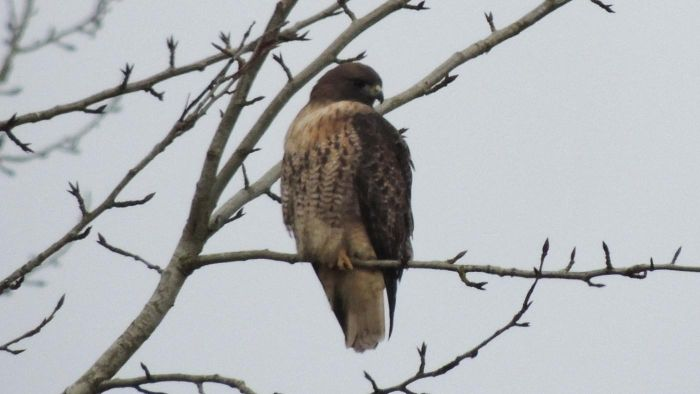 What Do Red Tailed-Hawks Eat?