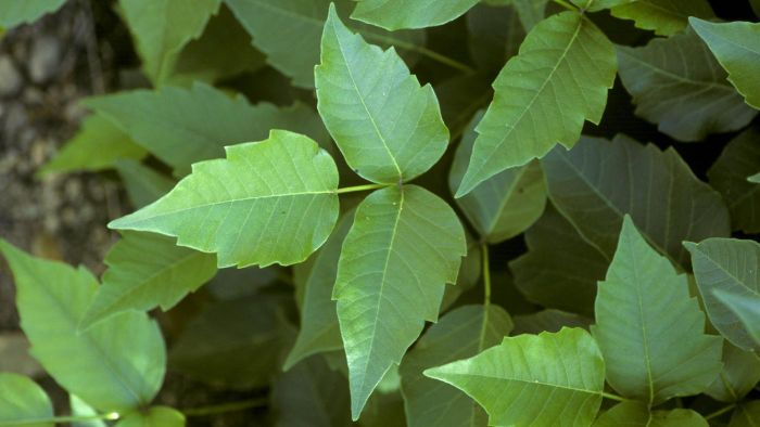 What Are the Best Ways to Get Rid of Poison Ivy?