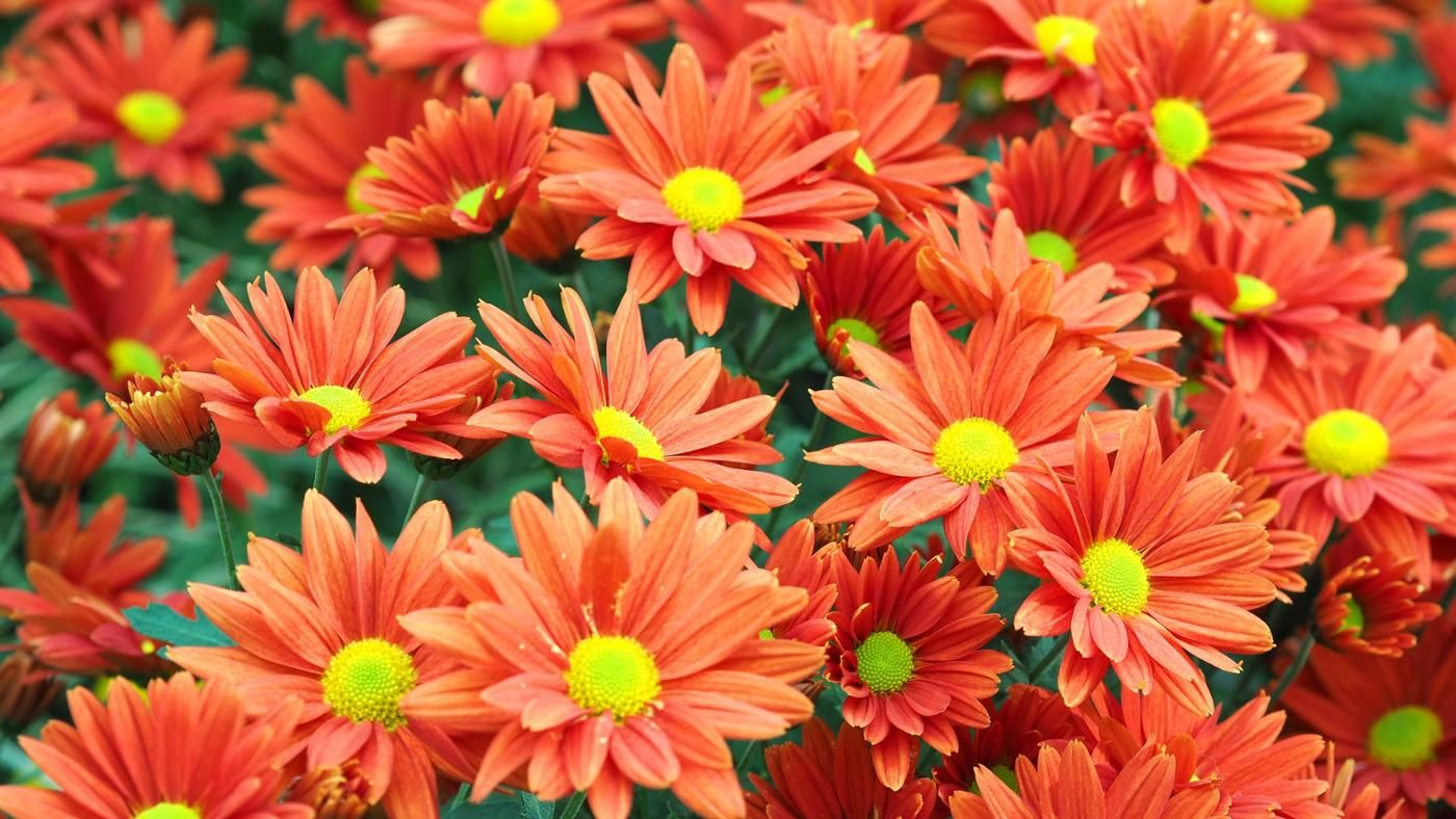 Are Mums Annuals Or Perennials Reference