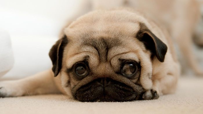 Where can you find pug puppies for sale?