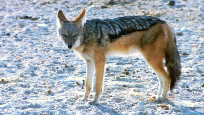 What Eats a Coyote?