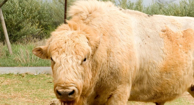 What Is a Beefalo?