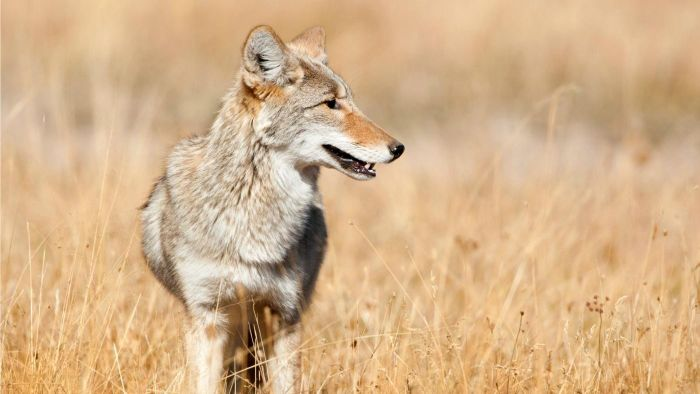What Is Considered the Best Coyote Call?