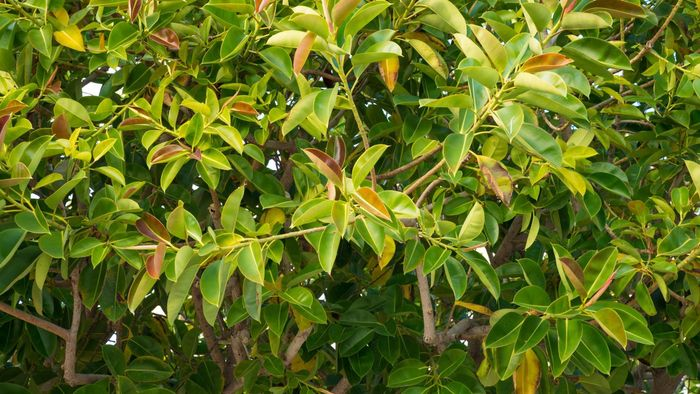 How Do You Care for a Rubber Tree Plant?