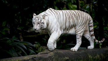 What Are Some Facts About White Tigers?