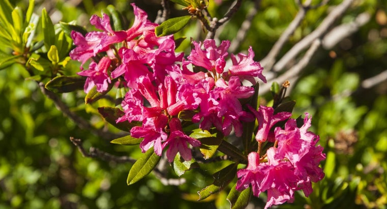 How Do You Prune Rhododendron?