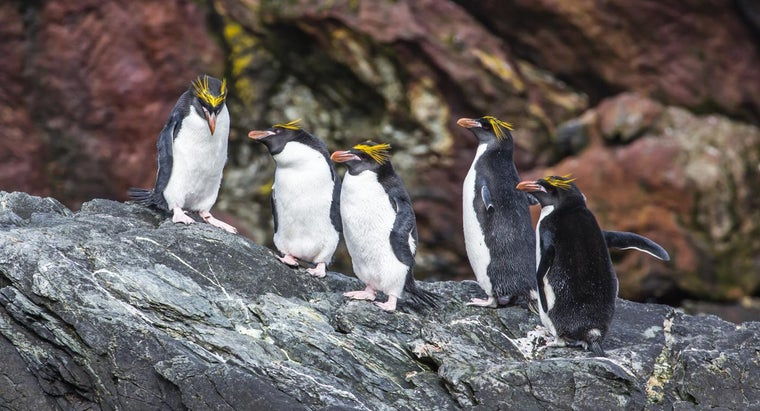 What Are Some Facts About Macaroni Penguins?