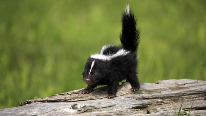 What Are Some Basic Facts About Skunks?