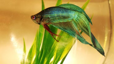 What Are Some Disease Symptoms for a Pet Fish?