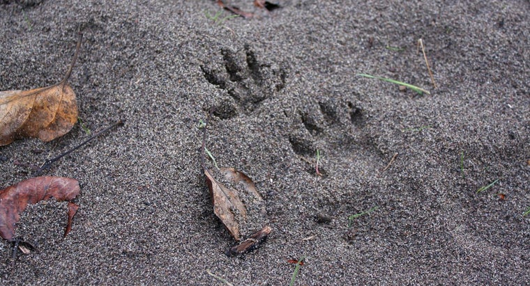 What Are Some of the Easiest Animal Tracks to Identify?