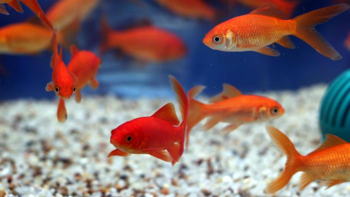 Are Goldfish Good Pets for Young Children?