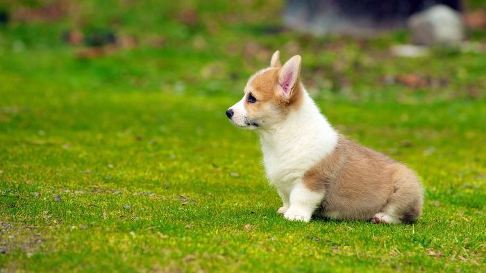 Where Can You Get Free Corgi Puppies?